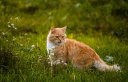 Wild red cat find something to eat. Very beautiful and fluffy red cat Stock Photography