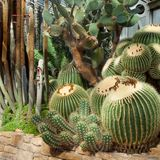 Very beautiful imposing cactus landscape in a greenhouse. Garden installation Stock Images