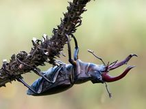 This is a very beautiful insect Beetle Lucanus cervus. It is the largest beetle living in Europe stock image