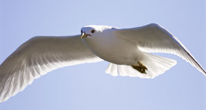 Very beautiful isolated photo of the flying gull with the wings opened Stock Photo