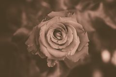 Charming gently rose. Sepia. Only flower and fon. Very beautiful large flower among the leaves. One rose. Very nice plant. Sepia Royalty Free Stock Photos