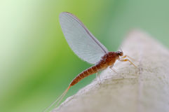 Very beautiful mayfly Royalty Free Stock Photo