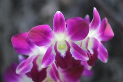 A very beautiful orchid flower stock image