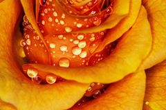 Charming macro orange rose with water drops!. Very beautiful, original, background with charming orange rose with water drops stock image