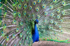 Very beautiful peacock stock images