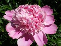 Beautiful blooming pink peony shining in the sun close up stock photos