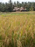 Beautiful rice fields, Ubud, Bali royalty free stock image