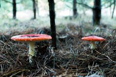 Mushrooms in a pine forest royalty free stock photo