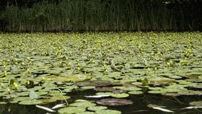 Very beautiful pond with unblown yellow lilies.  stock video footage