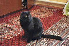 Carnivorous look of a black cat on a carpet. Very beautiful position of the cat in the photo, black cat gray with green eyes, fervid gaze, black hair Royalty Free Stock Image