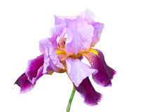 Very beautiful purple flower Royalty Free Stock Image