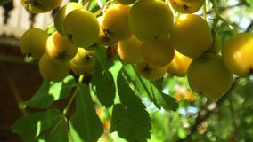 Very beautiful red rowanberry, berries rowan in summer, mountain ash on the tree in summer stock footage