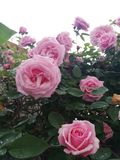 Very Beautiful Rose stock photo