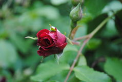 Very beautiful rosebud Royalty Free Stock Photo