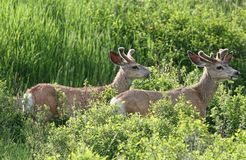 Two bucks in a field with velvet horns in montana Stock Image