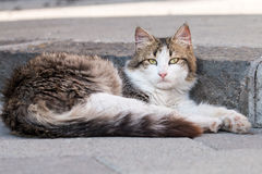 Very beautiful sicilian cat Royalty Free Stock Photography