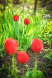 Very beautiful vertical close up photo of tulips. Nice garden look. Royalty Free Stock Images
