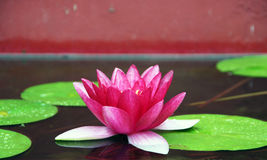 Very beautiful water lilies Stock Photography