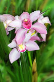 Very beautiful white pink orchid Stock Images