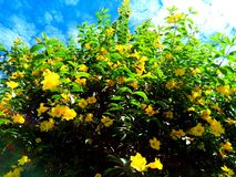 A very beautiful yellow flower plant Royalty Free Stock Images