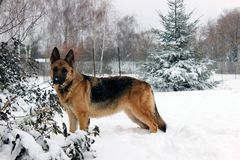 Beautiful German Shepherd Dog on a Walk. Very beautiful young dog breed German shepherd on a winter walk in the snow Stock Images