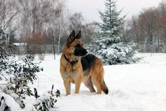 Beautiful German Shepherd Dog on a Walk. Very beautiful young dog breed German shepherd on a winter walk in the snow Royalty Free Stock Photos