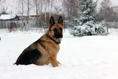 Beautiful German Shepherd Dog on a Walk. Very beautiful young dog breed German shepherd on a winter walk in the snow Stock Photography
