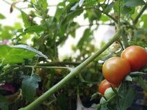 Beutiful red tomato stock image
