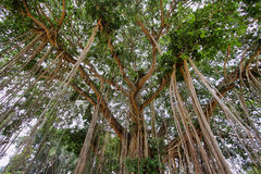 Very big banyan tree in Java island Stock Photo