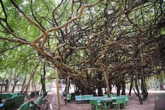 Very big banyan tree in Thai forest Stock Photos