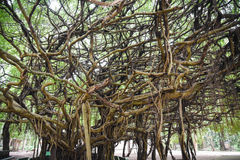 Very big banyan tree in Thai forest Royalty Free Stock Photography