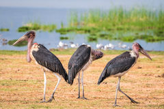 Very big birds called marabous Stock Photography
