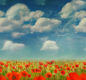 The very big blooming poppies field Stock Image