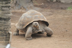 Very Big Brown Tortoise on a Brown Royalty Free Stock Photo