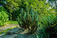Very big cactus on side of road or pathway on the park in bogor indonesia stock photos
