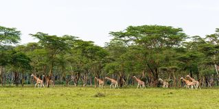 Very big group of giraffes. Nakuru, Kenya. Africa stock images