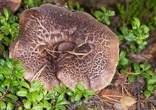 Very big mushroom Stock Image