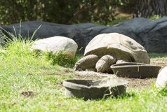 Very big old turtle. Royalty Free Stock Images