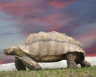 Very Big Tortoise Royalty Free Stock Photo
