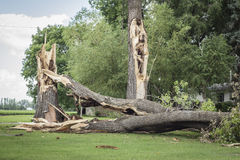 Very big trees snapped in half lying on ground due to thunder storm. Horizontal image of a couple of very large tree trunks broken down by high winds and Stock Photo