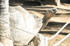 Very big turtle in a zoo.  royalty free stock image
