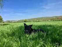 Very black dog Labrador Mix hidden in the deep grass of a fresh meadow. stock image