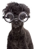 Very Brainy Dog. A black poodle wearing thick, nerdy glasses, isolated on a white background Royalty Free Stock Images