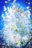 Very bright branch of blossoming cherry tree on Stock Images