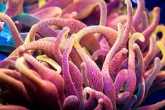 Very Bright Bubble Tip Anemone Tentacles stock photography