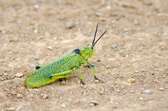 Very bright grasshopper Royalty Free Stock Photos