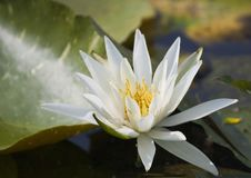 Very bright white water lily Royalty Free Stock Photo