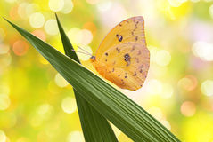 Very bright yellow butterfly macro Stock Image