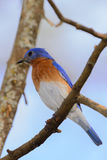 Very Bright Young Northern Bluebird Perched on a branch Colorful Stock Image