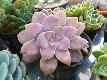 Very cactus species. Cactus rose rock. succulent. Sulcorebutia. Haworthia. stock photo